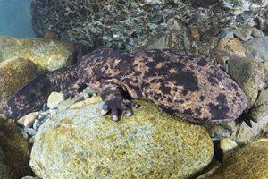 Giant Salamanders Japan