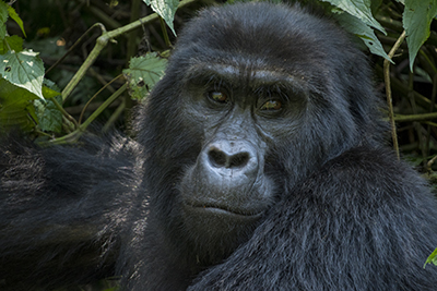 Trekking with Mountain Gorillas