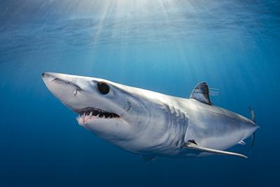 Mako and Blue Shark snorkeling