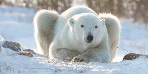 Polar Bear Tour Churchill
