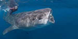 Snorkeler with a whale shark