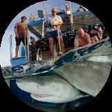 Over/under split shot of sharks in the Bahamas