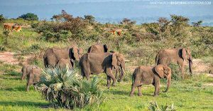 Elephants in Murchison Falls, Uganda Safari