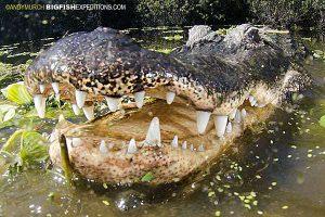 American Alligator Diving