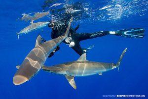 Silky shark diving at Andros navy buoy