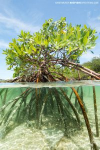Red mangrove in Andros Island, Bahamas.
