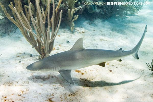 Blacknose shark Andros Island
