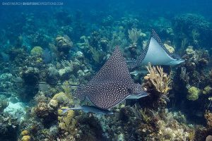 Spotted eagle rays Andros Island