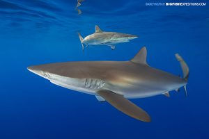 Andros silky shark diving