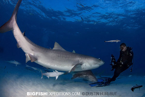 Tiger Shark diving with Andy Murch