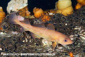 Atlantic cod in Norway diving