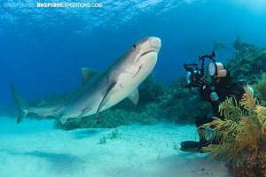 diver and tiger shark next to the reef to avoid a shark attack