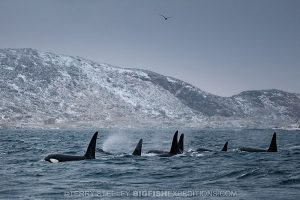 Killer whale pod in Norwegian fiord. Diving.