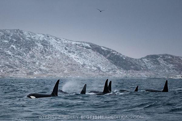 Killer whale pod in Norwegian fiord. Diving.