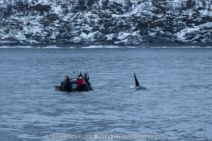 diving with orcas in the fjords of Norway