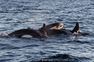 Pod of orcas in Norway