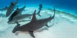 Bahamas Shark Safari
