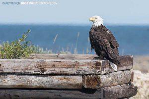 Bald Eagle, Bird watching in Churchill