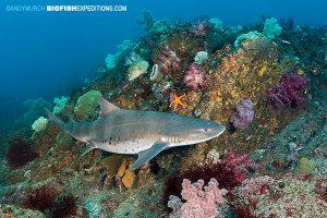 Banded hound shark diving around Japan