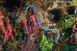 Banded krait sea snake diving in the Philippines