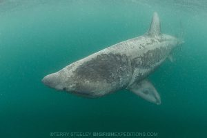 Diving with basking sharks in Scotland