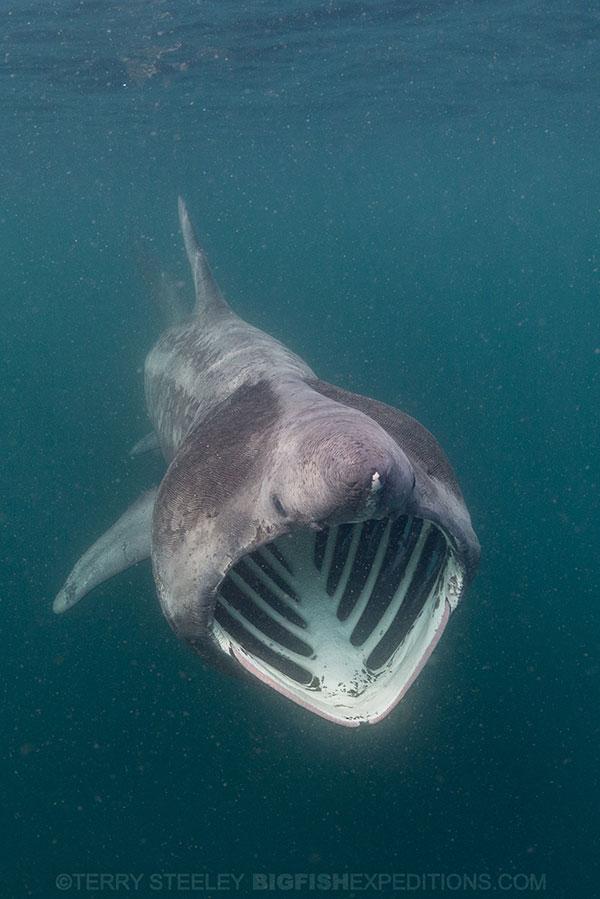 Basking shark mouth agape