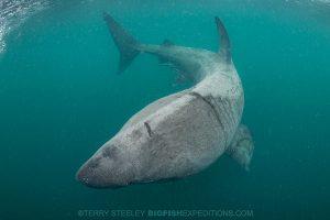 basking shark diving - a quick turn