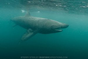 Diving with basking sharks