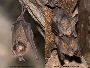 Left - Schneider's Leaf-nosed Bat. Right - a pair of Lesser False Vampire Bats.