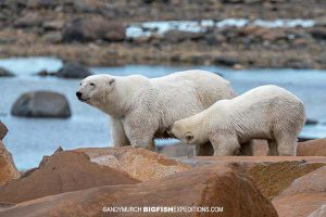 Polar bear nursing its cub.