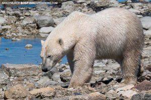 Close up of a polar bear on the Tundra Buggy.