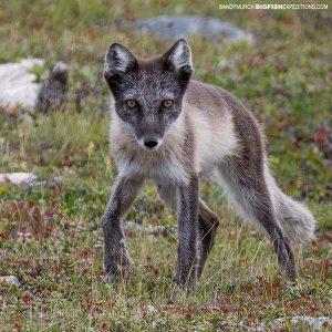 Arctic Fox encounter.
