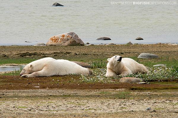 Resting polar bears
