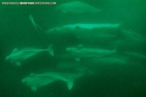 Beluga Whale pod