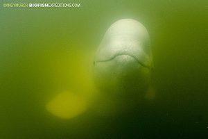 Beluga close up