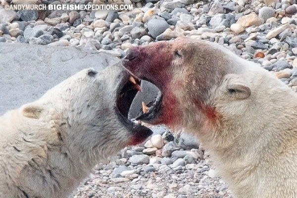 Polar bear predation dominance