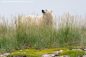 Polar bear in the grass