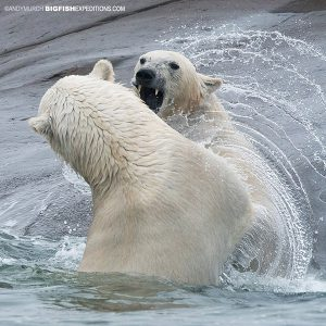Polar bear dominance