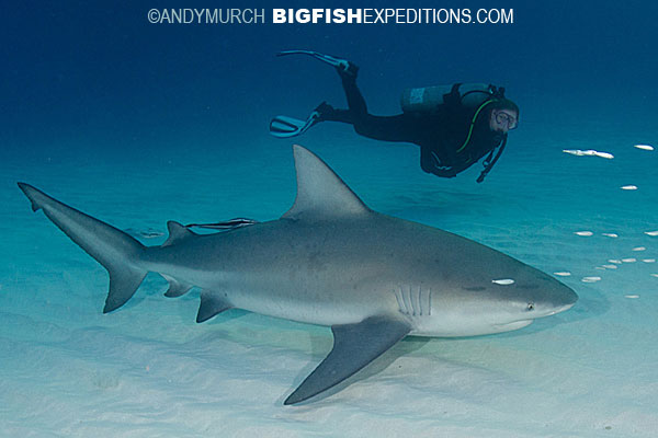 Diving with a bull shark