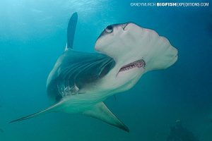 Diving with a great hammerhead