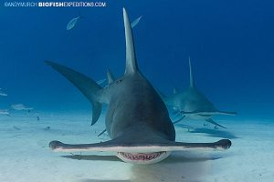 Great hammerheads on a dive