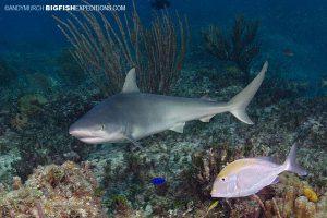 A blacknose Shark at Triangle Rock in Bimini.