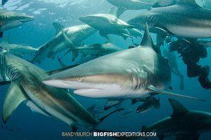 Blacktip Sharks Umkomaas