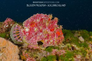 bloody frogfish