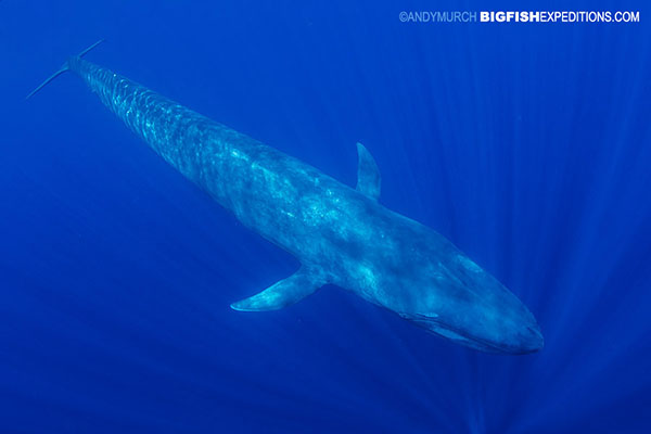 Snorkeling with blue whales