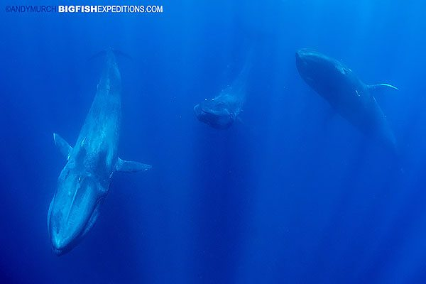 Snorkeling with blue whales.