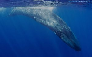 Blue whale encounter in Sri Lanka