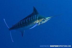 Blue Marlin diving at Cat Island