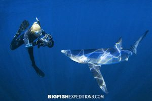 Blue shark snorkeling