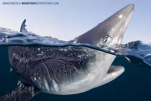 Blue shark photography split frame image